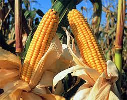 Artículo sobre el rendimiento del maíz