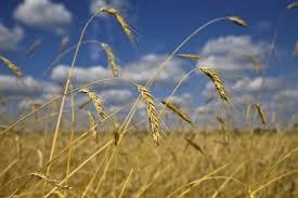 Resultados en trigo en siembra directa con abonos aportados en una sola aplicación.